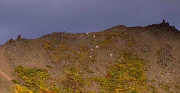 lick to enlarge - Dall sheep on the mountain side